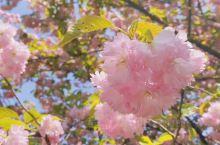 春日赏樱江苏无锡