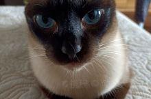 暹罗猫——铁蛋