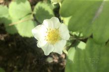 草莓花来看
