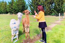 【新西兰玩乐 | 温馨有爱的羊驼小可爱】