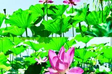 """紫竹院公园:因""""荷""""心动为""""荷""""动心"""