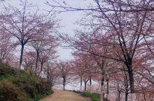 黄腊樱花园