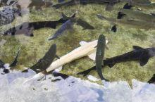 淡水三文鱼(鳟鱼)