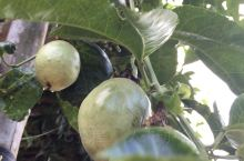 农场的乐趣。盛夏时节,水果丰硕。