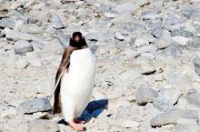 库佛维尔岛上的企鹅,漫山遍野。当人们的镜头,包围住、挡着它们的去路时,显得无所适从。左冲右突,飞快的