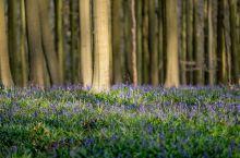 """林中密语:约会比利时""""紫花森林"""""""