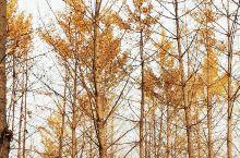 晚秋里金黄的色彩