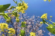 4月聚焦在林芝的桃花