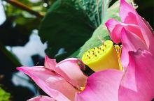 立秋節氣後,池塘中的荷花逐漸凋落,僅剩殘荷枯葉,想要再看到滿園荷香只能期待明年。 #海岛夏天有你真甜