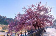 【Sakura】爱丁堡的春天