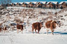 牛年冬季的阿尔山   美的犹如童话世界