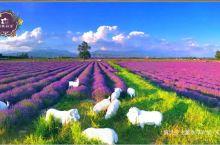 伊犁霍城解忧公主薰衣草庄园,6、7月旅游必须要去的地方。解忧公主薰衣草园