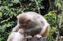 姑婆山上猴子一家