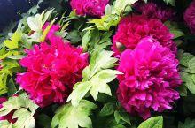 卢舍那大佛脚下盛开的牡丹花