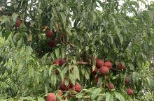 微山岛摘桃子