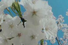 樱花宛如懵懂少女,安静地在春天开放,满树的白色粉色的樱花,是对情人诉说爱情的最美语言。快来台州府城和