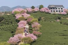 中国最美的樱花圣地~福建永福樱花茶园