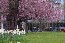 愛丁堡·春日櫻花