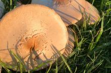 久雨后的蘑菇,草丛中的小雨伞! 夕阳余晖的金光里,雨后的草坪上,排队的蘑菇精灵们在窃窃私语,耳鬓厮磨