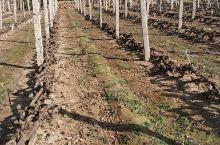葡萄树准备过冬了