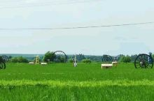 响水大米产区稻花飘香