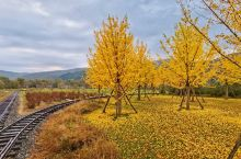 辽宁丹东凤城,叆河的秋天,银杏遍地金黄