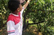 从福州出发,大约一个小时到达古田凤都,上午摘桃。他们摘桃,我采桃胶,回家后自己晒了,和某宝上买的一样