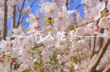 太原玉泉山上25万株的樱花已经开放