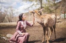 在亲爱的客栈和小鹿一起玩耍 不要以为阿尔山只有风光美景,这里还有可爱的小鹿等着我。阿尔山的鹿村作为《