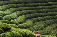 有机茶之乡