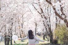 打卡上海樱花圣地【顾村公园】