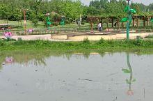 今天来眉县千亩荷塘游玩。沿渭河边草木茂盛,野花展放。塘内栈道绵延几里,零星漂着数片荷叶,尚无真荷花,
