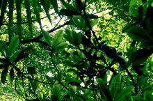 青城山的小动物-黑松鼠