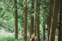 这片杉树林位于南京建邺