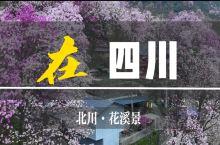 四川九皇山辛夷花|天府后花园的粉色山野