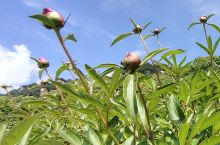 芍药花蕊含苞待放,邀您共赴花海之约