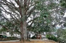 景迈山勐本村子里的古榕树--千手观音树