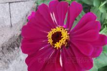 五颜六色的太阳花