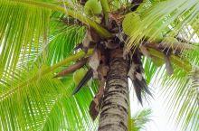 三亚海边的椰子随处可见,真的可以随便摘吗?在线等,挺口渴的