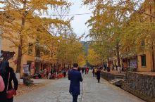 在广东也能看银杏,美哉