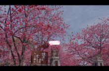 清明小长假 | 来大理赴一场樱花约会吗