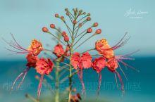 夏威夷的植物 豆科美洲云实属红蝴蝶