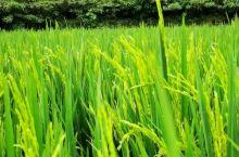 稻田风光,田园生活,虫鸣鸟叫……