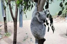 树袋熊(别名 考拉)树袋熊属动物,体形肥胖,毛又乱又厚,没有尾巴。树袋熊大部分的时间都是在树上度过的