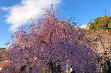【鹤舞公园】樱花大赏
