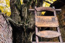 2020年12月11日,抓住秋天的尾巴,到了韶关南雄坪田看银杏,幸运地见到南粤少见的一抹金黄。 这是