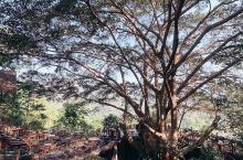 清迈咖啡日记 巨型菩提树下的咖啡馆