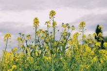 瑞士赏花|日内瓦金黄的油菜花田