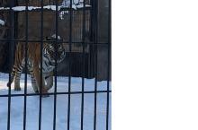 旭山动物园里的大脑虎