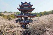 上帝视角的无锡鼋头渚樱花